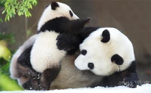 活化石——大熊猫