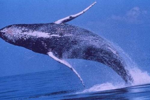 世界上最大的鲸鲨 世界上最大的鱼类