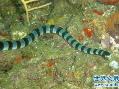 毒性动物排行 裂颊海蛇毒性是眼镜蛇的8倍