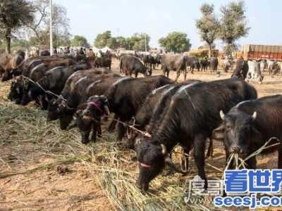 世上真的有神物吗 世界上牛最多的国家印度